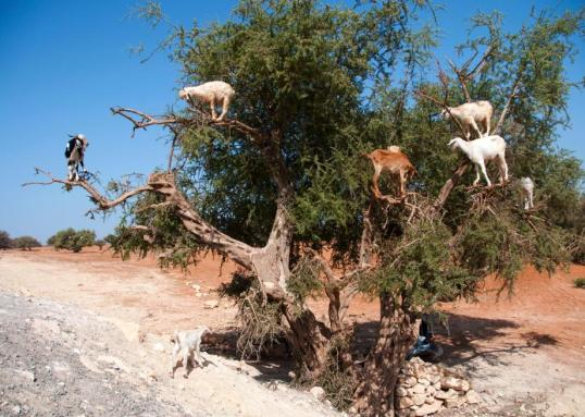150821437-this-photo-taken-on-august-26-shows-goats-climbing-up.jpg.CROP.promo-large2